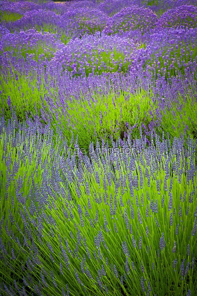 Lavender Study by Inge Johnsson