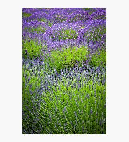 Lavender Study Photographic Print