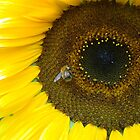 Sunflower - Insect by Gipi Gopinath