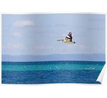 Australian Pelican over Water Poster