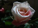 world's little rose in the dark shines brilliantly by LisaBeth
