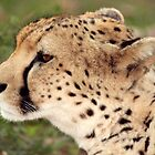 Cheetah Profile by JenniferEllen