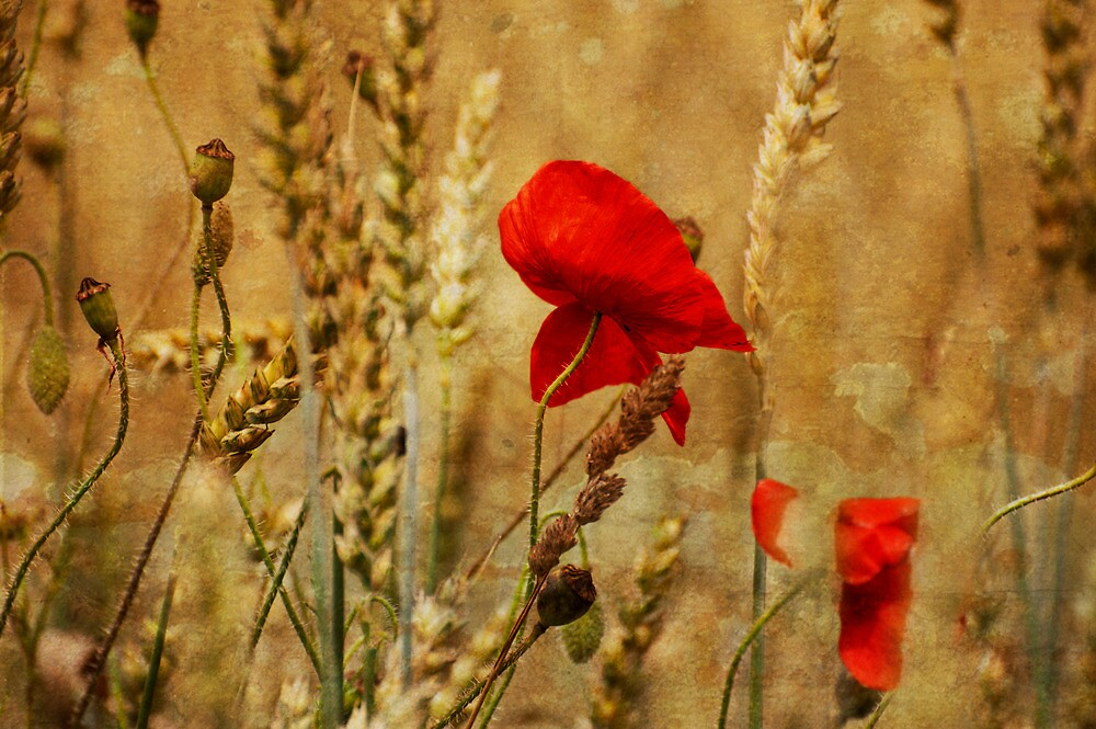 Golden Summers: Poppies in the Wheat by Skye Hohmann
