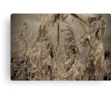 wild grass in cane field Canvas Print