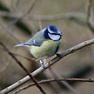 Ringed Blue Tit by Hovis