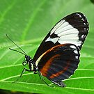 Butterfly Wings by Usha Ganesh