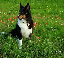 Our Sheltie - 'Kali' by Charmiene Maxwell-batten