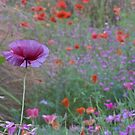 Poppy in the Meadow  by DIANE  FIFIELD