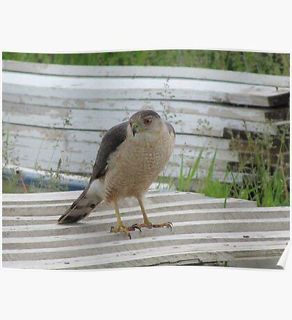 Waiting Hawk Poster
