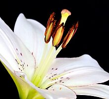 White Lily  by Mihaela Limberea
