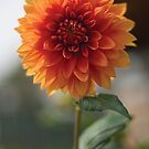 Beautiful Dalia Flower by Diego Re