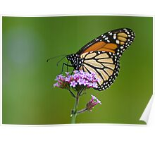 Monarch Butterfly on an August Afternoon Poster