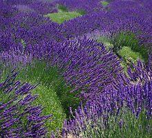 The Lavender Harvest by Sheri Bawtinheimer