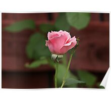 Pink Rose in the Garden Poster