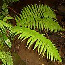 Ferns in a shady place by Fara