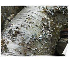 Curly Birch Bark Poster