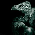 Andean Condor in monochrome by alan shapiro