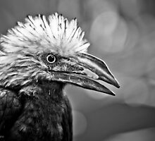 My arch nemesis- the white crested hornbill by alan shapiro