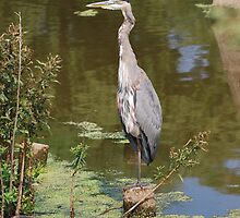 The Juvenile Great Blue Heron by deb cole