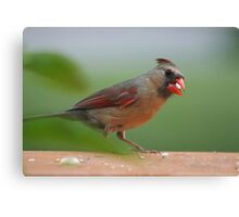 Female cardinal with seed Canvas Print