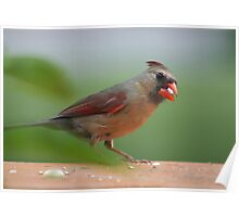 Female cardinal with seed Poster