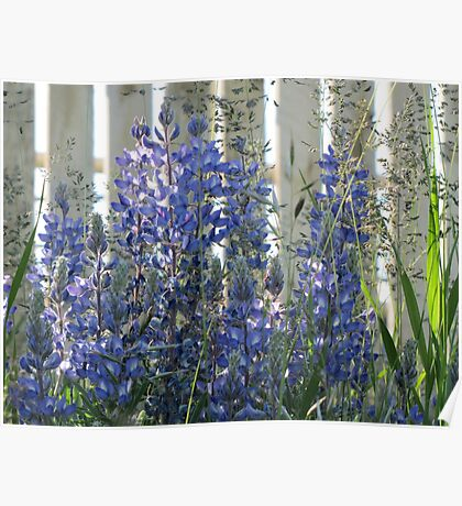 Sunlit Lupins Poster