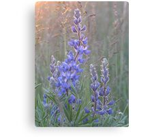 Soft Lupins Canvas Print