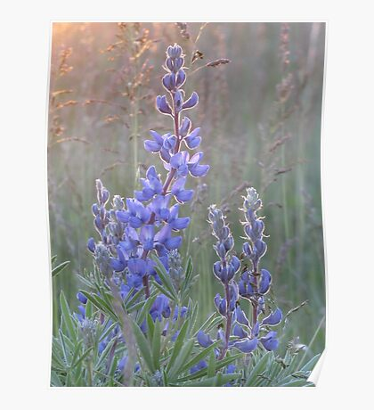 Soft Lupins Poster