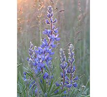 Soft Lupins Photographic Print