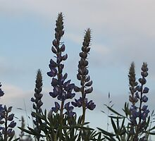 Lupin Sky by Kathi Arnell