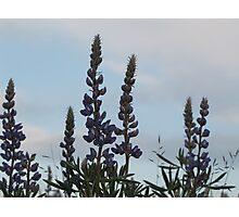 Lupin Sky Photographic Print