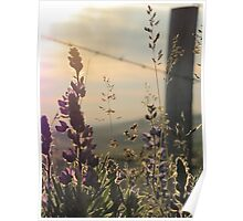 Fenced Lupins Poster
