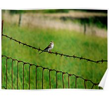 Song Sparrow on Barbed Wire Poster