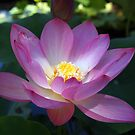 Waterlily and Light by Linda  Makiej