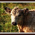 A cow named Curley by Angie O'Connor