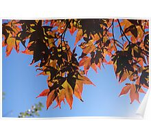 Fall is here. Red maple leaves in  blue sky. Poster