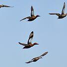 wild wings over az by gene mcfarland