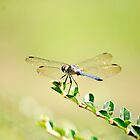 Dragonfly by Amanda McHady