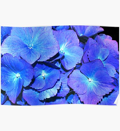 Hydrangea in HDR Poster