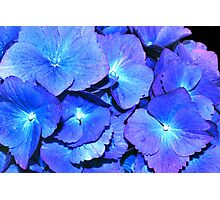 Hydrangea in HDR Photographic Print