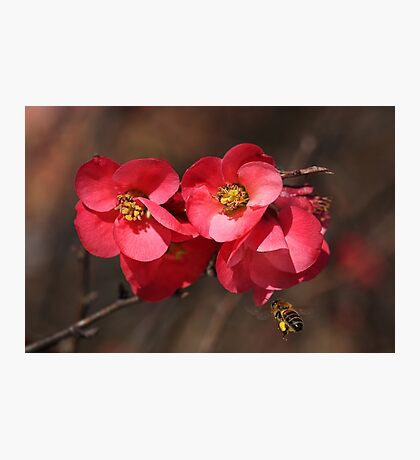 Yum - Flowering Quince Photographic Print