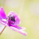 Poppy  by Melissa Dickson