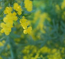 Wattle by Xavier Russo