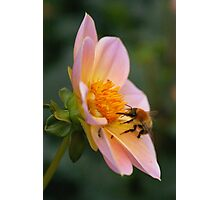 Bumble bee gathering pollen from a pink flower Photographic Print