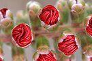 bottlebrush buds by Teresa Pople
