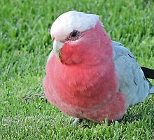 Galah by Graeme  Hyde