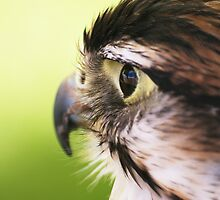 Bird of Prey by AlbertLake