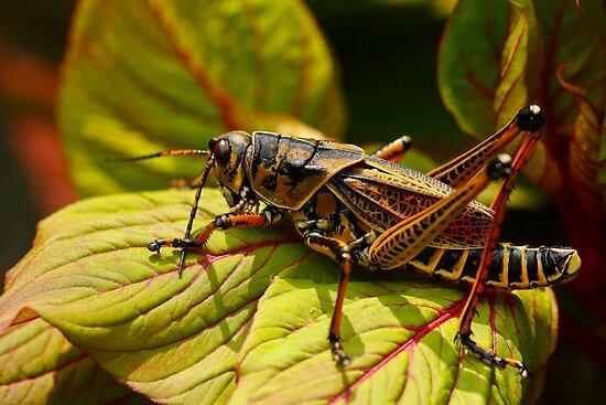Lubber grasshopper by Manon Boily
