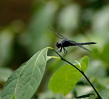 dragon fly on a twig by wolf6249107