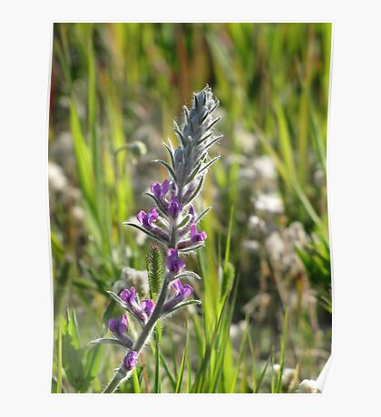 Showy Locoweed Poster